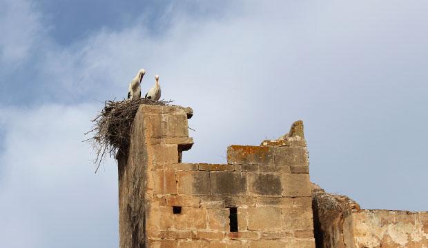 Cigüeñas en la Necrópolis Chellah