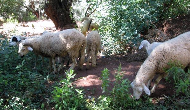 En la Cascada de Ouzoud de Marrakech es muy común ver a lugareños pastorear