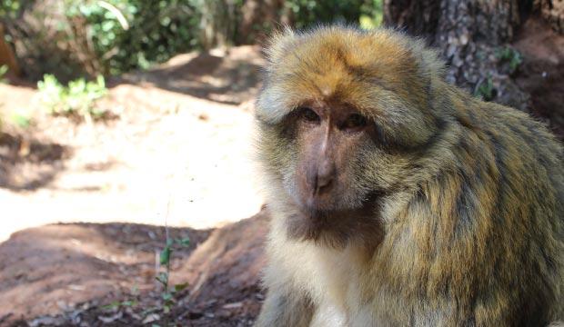 En las Cascadas de Ouzoud en Marruecos la presencia de monos es muy alta