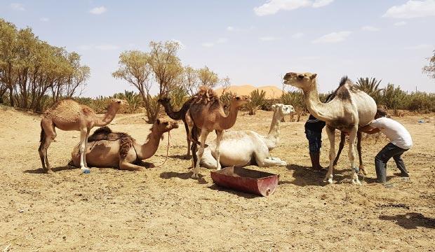 Los tuareg, tribus nómadas de africa, basan su supervivencia en su ganaderia nómada, compuesta de animales como dromedarios, burros o cabras