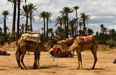 Paseo en camello por el palmeral de Marrakech. Paseo en camello en Marrakech