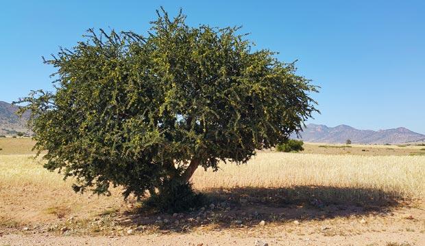 La argania espinosa es el árbol que se utiliza para fabricar la crema de argán