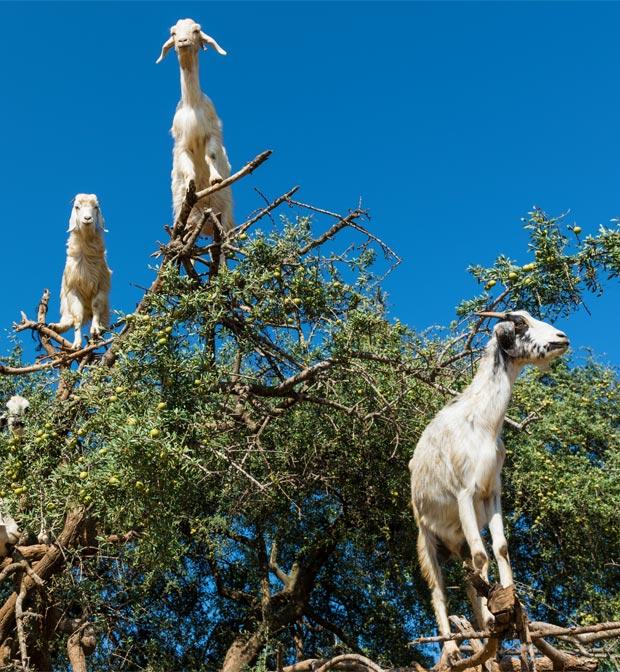 Crema de argán. Árbol del argán con cabras
