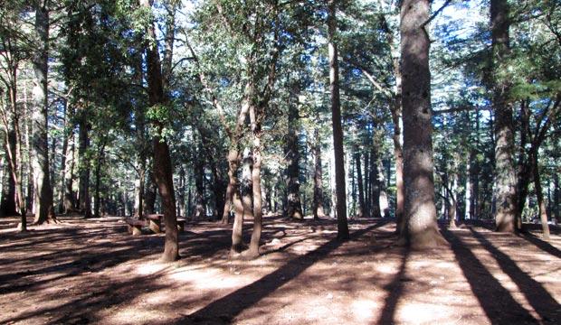El bosque de cedros en Ifrane (Marruecos)