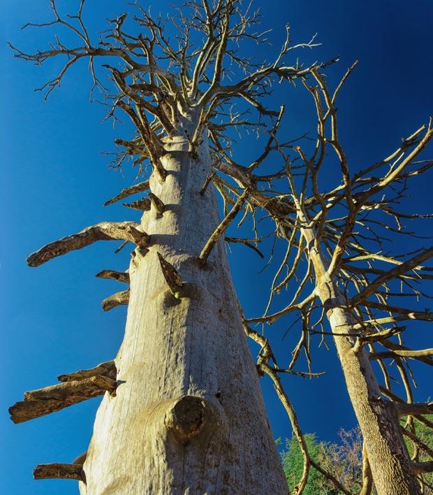El cedro Gouraud de Ifrane alcanza los 35 metros de altura