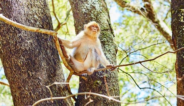 El macaco de Berbería está presente en Marruecos, Ifran en el parque nacional