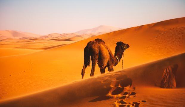 Marrakech y camellos. Marruecos y camellos