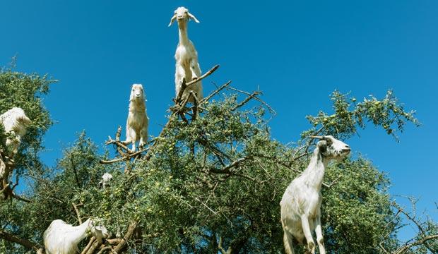 Marruecos en primavera. Las cabras en los árboles de argán