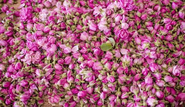 Cada temporada se recogen casi 5.000 toneladas de rosas en Kelaa M'Gouna