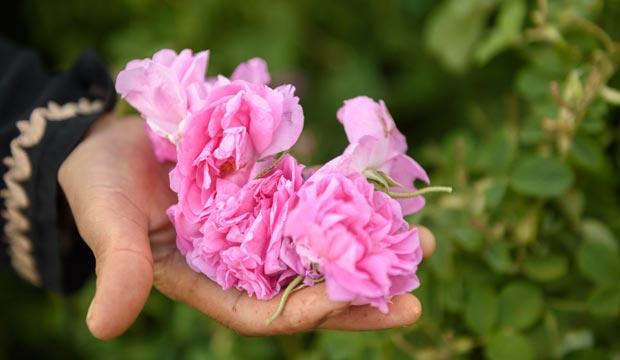 La recolección de rosas en kelaa m gouna se da a finales de Mayo todos los años
