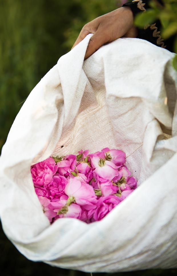 kelaa m gouna es un lugar famoso por su recolección de la rosa de damasco
