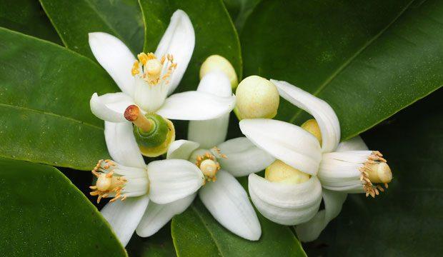 Aceite de Neroli. Flor del naranjo amargo
