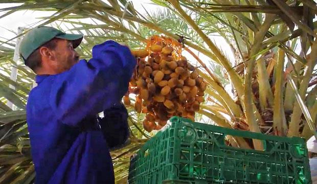 Feria Internacional des Dattes du Maroc se celebra cuando ya ha terminado la recogida, en Octubre