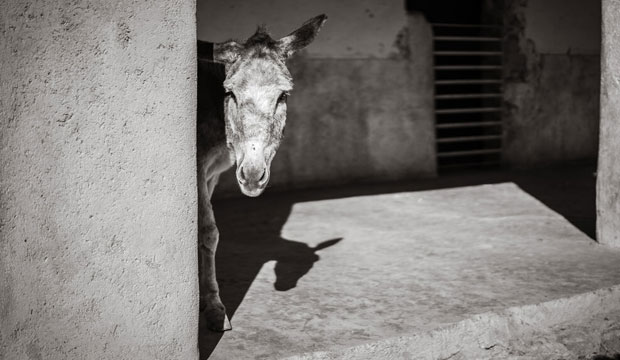 El burro y la mula juegan un papel fundamental para las familias