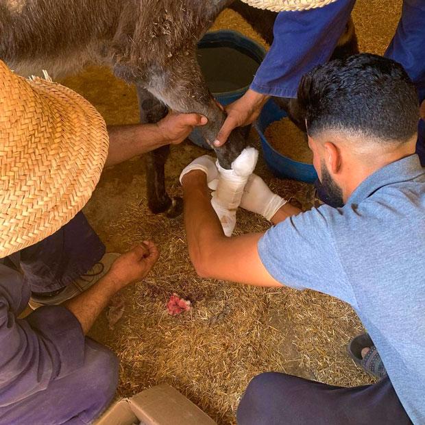 Jarjeer Mule and Donkey Refugee es un refugio para burros y mulas a cargo de la asociación benéfica Jarjeer Mule and Donkey Trust