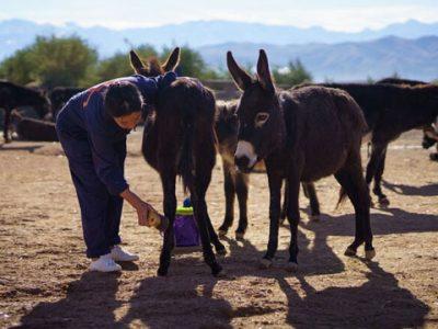 Jarjeer Mule and Donkey Refugee. Refugio Jarjeer