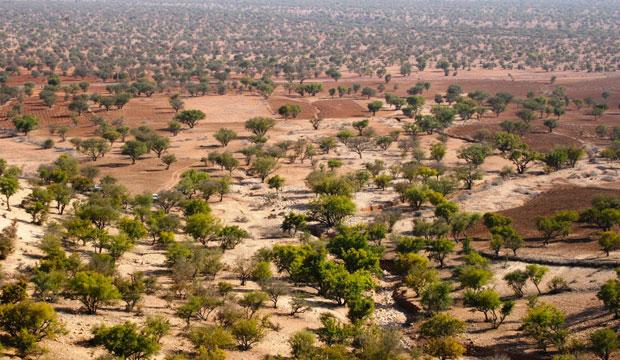 El aceite de argán de Marruecos ha provocado que se tengan que desarrollar políticas orientadas a la preservación del árbol